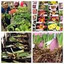 Hosta, Daylily & Iris Sale